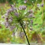 """Allium nutans """"Seedlings"""" from Wietse Mellema"""