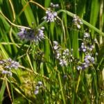 Allium stenodon
