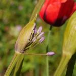 A different form of Allium wallichii