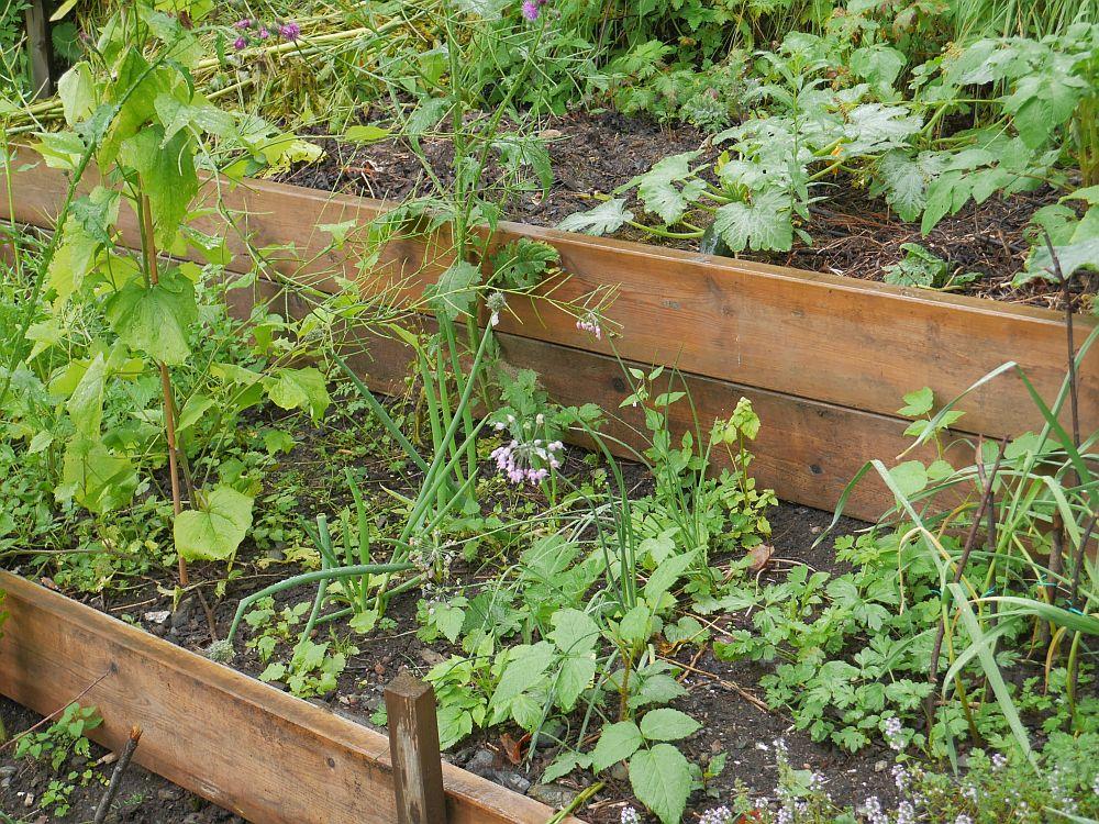 I was surprised to find Allium cernuum (Nodding onion / prærieløk)  in a bed...until she reminded me that she had been part of the Grønttreff in my garden last summer: http://www.edimentals.com/blog/?page_id=5149