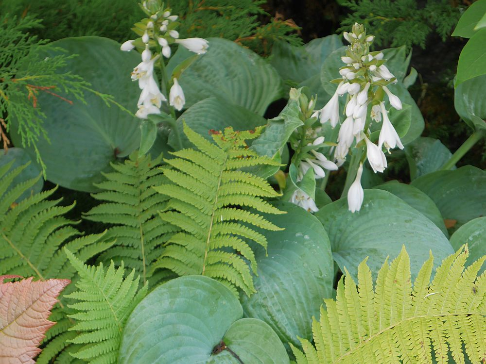 "Hosta and ostrich fern (strutseving) near the garden entrance...a new garden with ""ornamentals"", vegetables and herbs!"