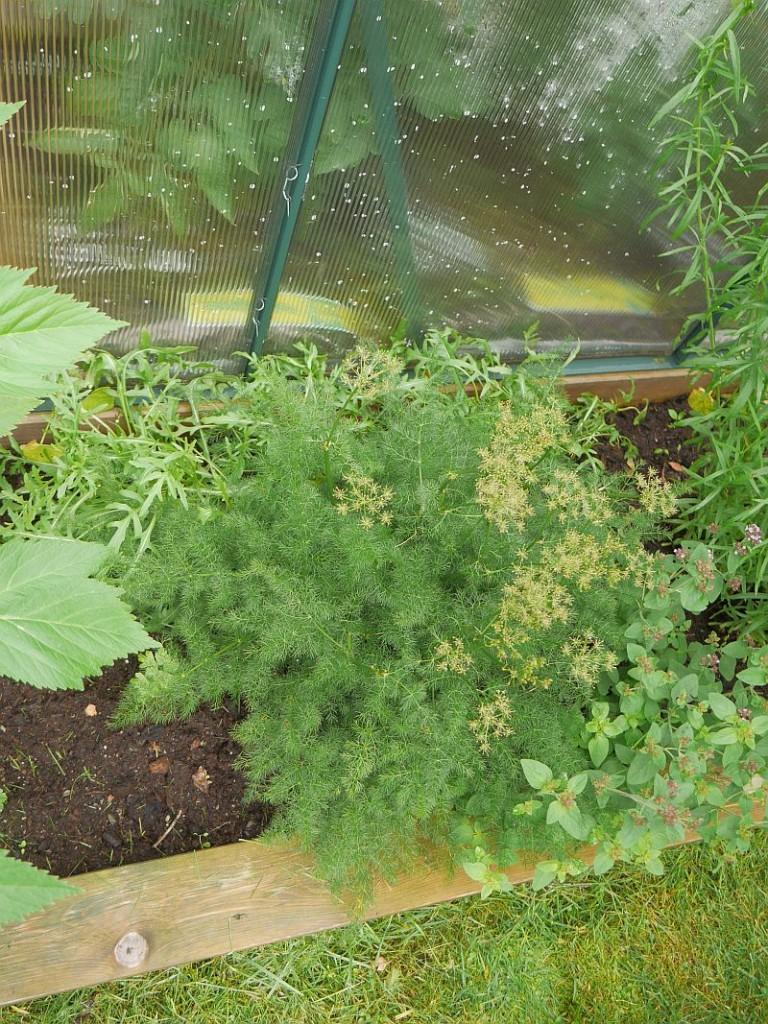 Meum athamaticum (spignel meu/ bjørnerot) is a very common hardy herb in Norwegian gardens