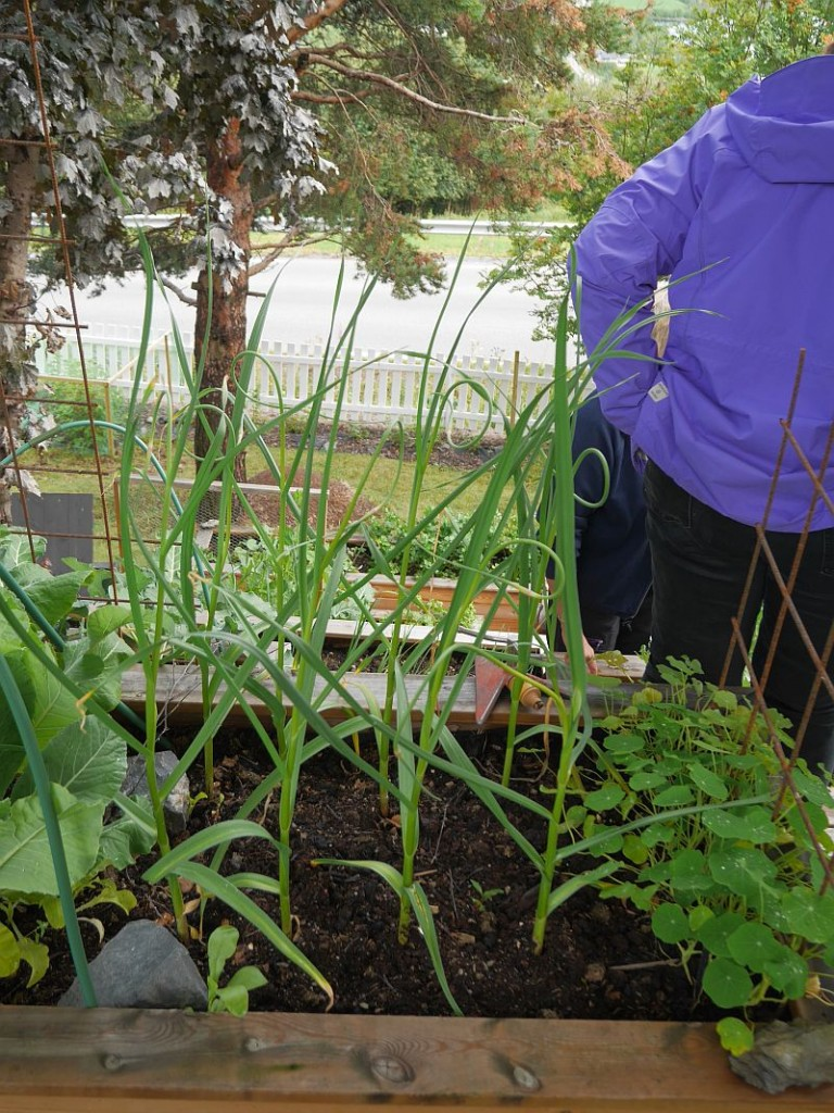 Hardnecked garlic introduced by local man Anders Nordrum​ (see datsja.no) was also growing in Bente's garden!