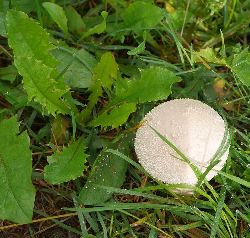 Puffball (røyksopp) and dandelion