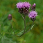 Cirsium arvense on a small open field halfway up the hill