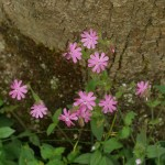 Late flowering Silene dioica (red campion /rød jonsokblom)