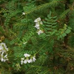 Wood vetch (skogsvikke)