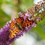 Comma butterfly (hvit C)