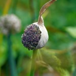 Allium tuncelianum (Tunceli garlic)