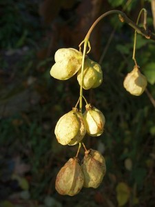 Staphylea pinnata / Bladdernut: Not something to rely on if you're likely to be hungry