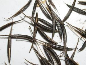 Osmorhiza claytonii