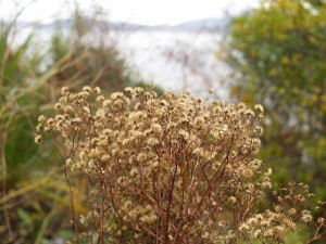 Aster scaber harvested for seed today