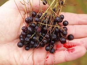 Ribes petraeum biebersteinii/ Black Redcurrant / Svartrips