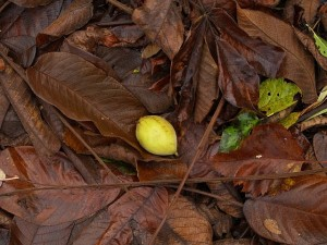 Chinese Walnut / Juglans cathayensis - there were several on the tree but I only found one on the ground