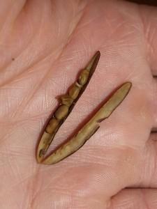 Caragana arborescens / Siberian Pea Tree / Sibirertebusk
