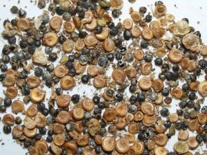 Atriplex hortensis rubra