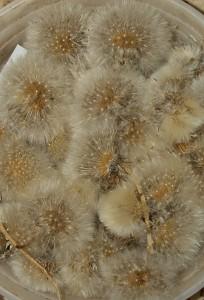 Taraxacum variegatum