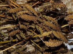 Elsholtzia ciliata