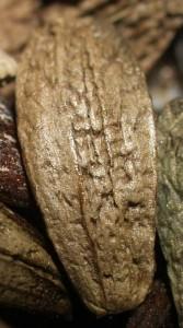 "Arctium lappa ""Ho Gobo"" (leaf variety)"