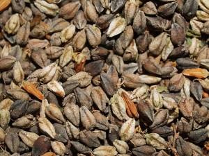Fagopyrum tataricum /Wild Buckwheat