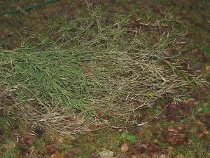 """Brassica juncea """"Green Wave"""" (Mustard Greens)"""