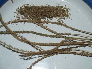 "Plantago coronopus ""Minutina"""