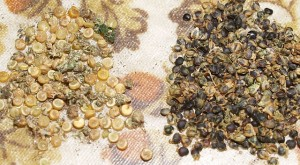 Quinoa and Good King Henry/Stolt Henrik