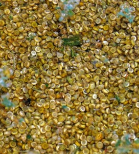 Cleaning Quinoa seed from the chaff in water...