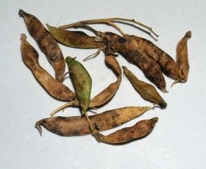 Lathyrus tuberosus