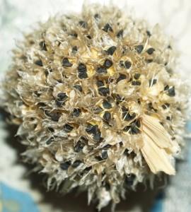 Allium altaicum