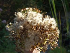 Senecio cannabifolius (wild collected edible in Japan)