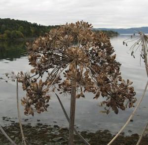 Tromsøpalme or Giant Hogweed at Leangenbukta