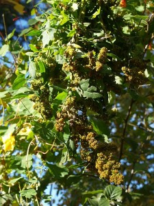 About half of my Quinoa plants were harvested today