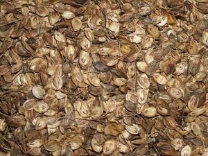 Tromsopalme / Heracleum persicum (Golpar spice)