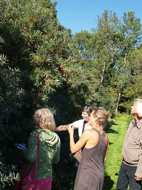Inspecting the Sea Buckthorn / Tindved (Hippophae) collection