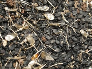 "Allium fistulosum ""Gribovskiy 21"""
