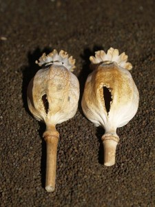 Opium poppy, Papaver somniferum, seed pods attacked by great and blue tits...