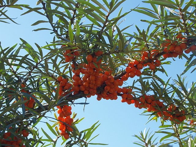 Sea Buckthorn / Tindved (Hippophae)