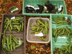 Broad Beans for seed and eating