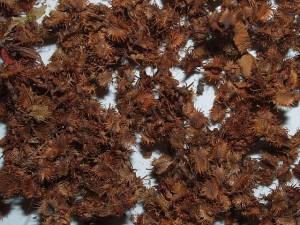 Rumex nepalensis