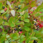 Gaylussacia dumosa, Dwarf Huckleberry from North America