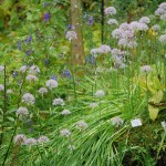 A nice group of Allium wallichii