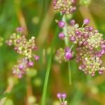 Labelled Allium taquetii, a synonym of thunbergii, nice in bud!