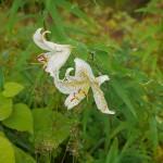 """Lilium auratum, one of the edible Asian species"""""""