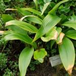 Allium ovalifolium