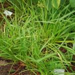 Allium hookeri var muliense, a good yellow flowered form!