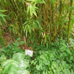 Bosse pointed out this bamboo with relatively thick shoots: Phyllostachys atrovaginata...