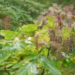 Another Aralia cordata, Udo