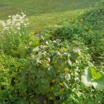 Edible garden at the beach with perennials like Allium tuberosum, rampant New Zealand Spinach and rhubarb