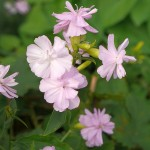 Saponaria officinalis (double soapwort)
